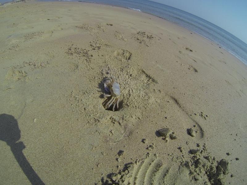 2015_Sandy_Beach_Fujairah_Crab4
